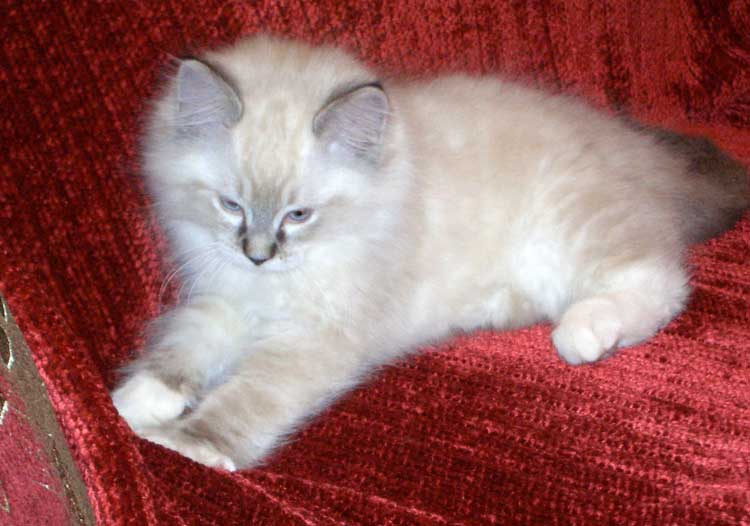 Ragdoll cat 10 weeks Michou